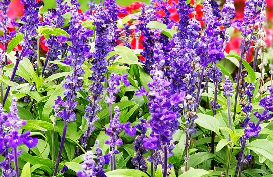 Bunga Lavender Bisa Dimakan
