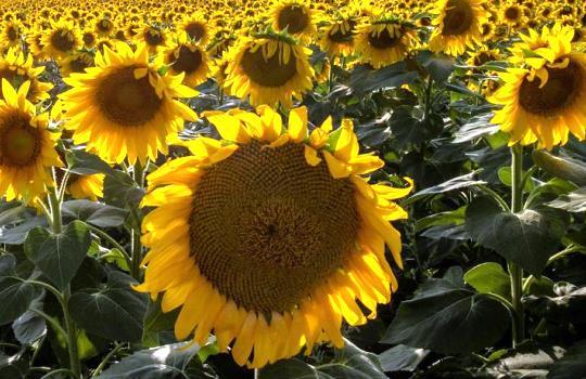 Bunga Matahari Bisa Dimakan