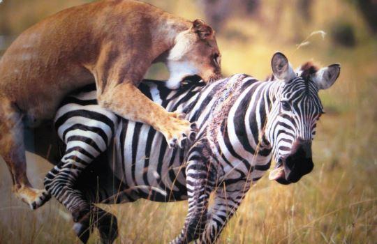 Pengertian Kompetisi Predasi Simbiosis Perbedaan Contoh