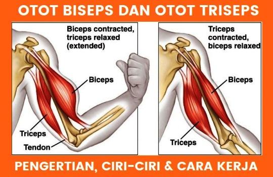 Pengertian Otot Biseps Definisi Triseps Ciri Cara Kerja