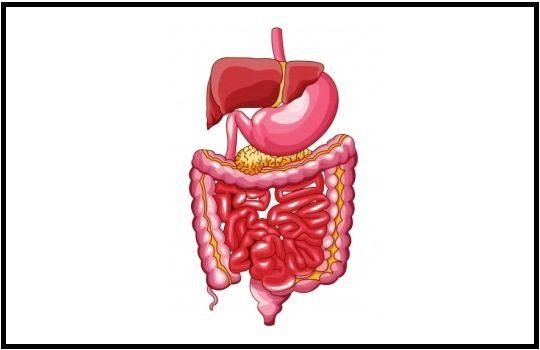 Pengertian Sistem Pencernaan pada Manusia, Fungsi, Organ dan Proses